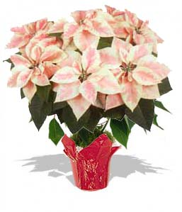 Poinsettia Large - MARBLE - Click Image to Close