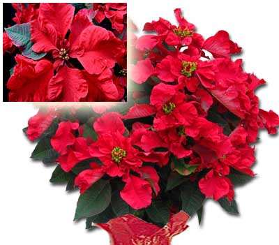 Poinsettia Medium - CAROUSEL
