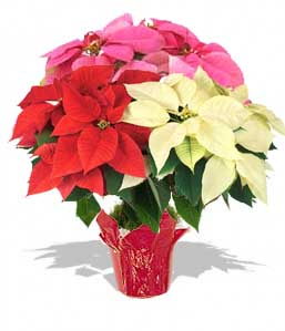 Poinsettia Medium - MIX
