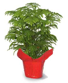 Tree - Norfolk Pine - MEDIUM