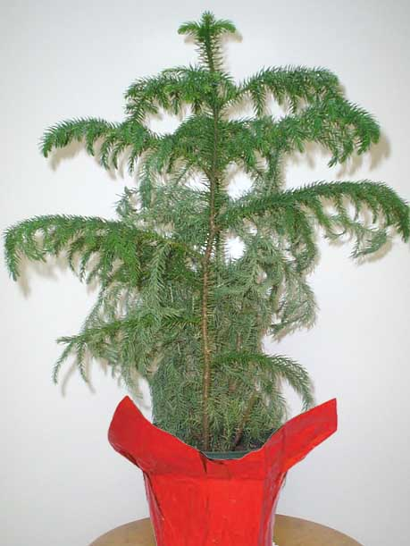 Tree - Norfolk Pine - LARGE