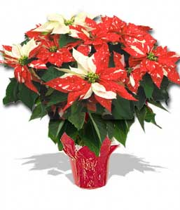 Poinsettia Large - SHIMMER