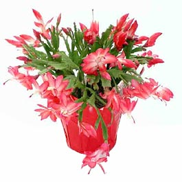 Flower - Christmas Cactus - SMALL - Click Image to Close