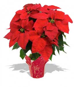 Poinsettia Large - RED