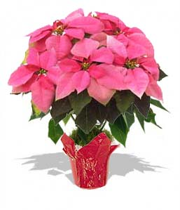 Poinsettia Medium - PINK