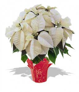 Poinsettia Large - WHITE